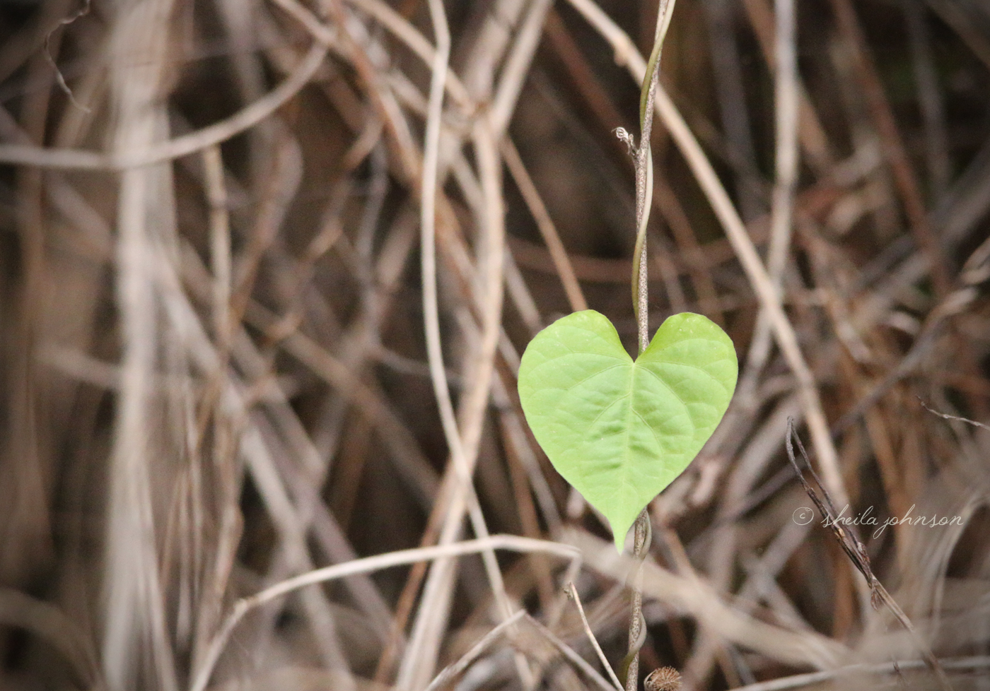 Millions Of Green Heart-Shaped Leaves, And The Universe Loves To Put Them In Our Path In Such Ways As To Make Them Stand Out.