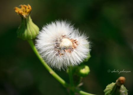 Never could there have been a more perfect flower upon which to make a wish than this one with a heart in its center!