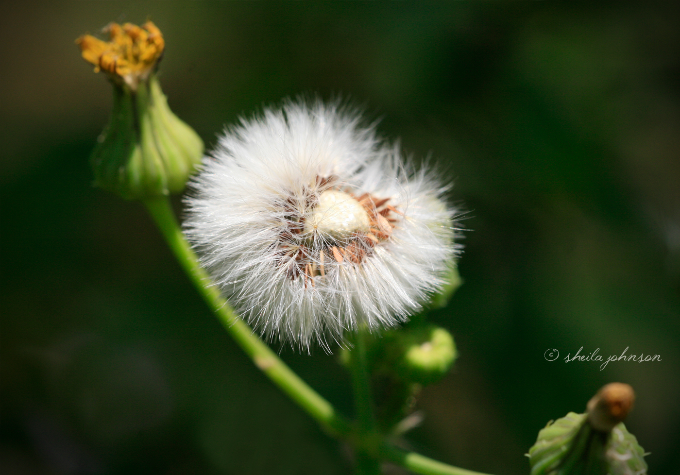 Epitome of a Make a Wish Flower Nature s Folio