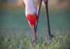 Did You Know That, At Just The Right Angle, The Sandhill Crane's Red Crown And Beak Make A Heart Shape? Such A Pretty Sight!
