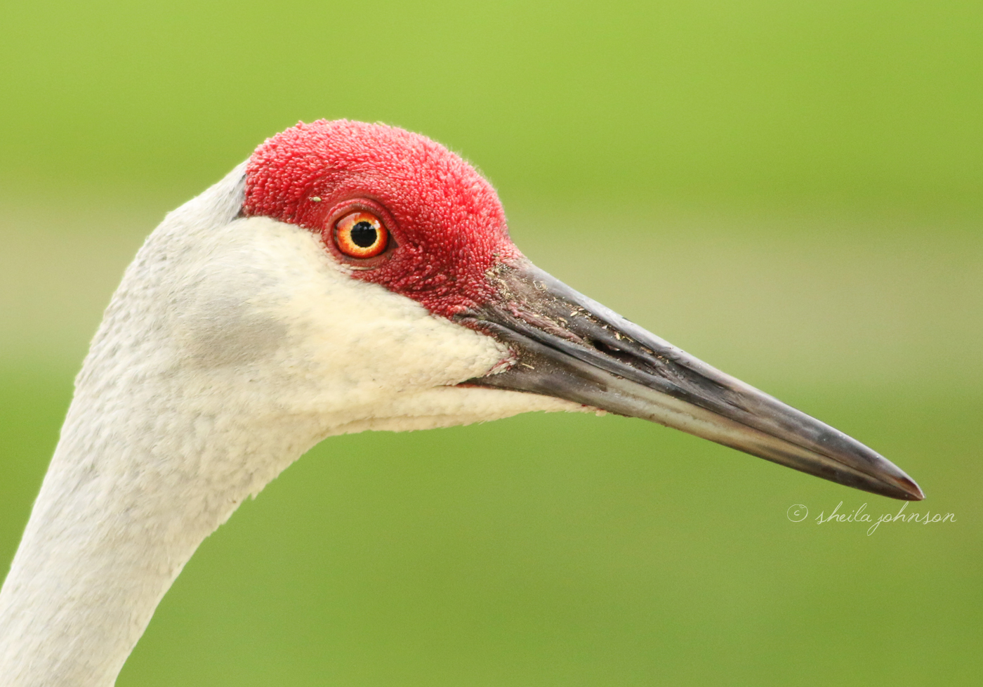 If this Sandhill Crane bends its head just the right way, we can see it's red crown and beak make a heart shape. On this one, we can see a gray heart-shaped shadow on its cheek!