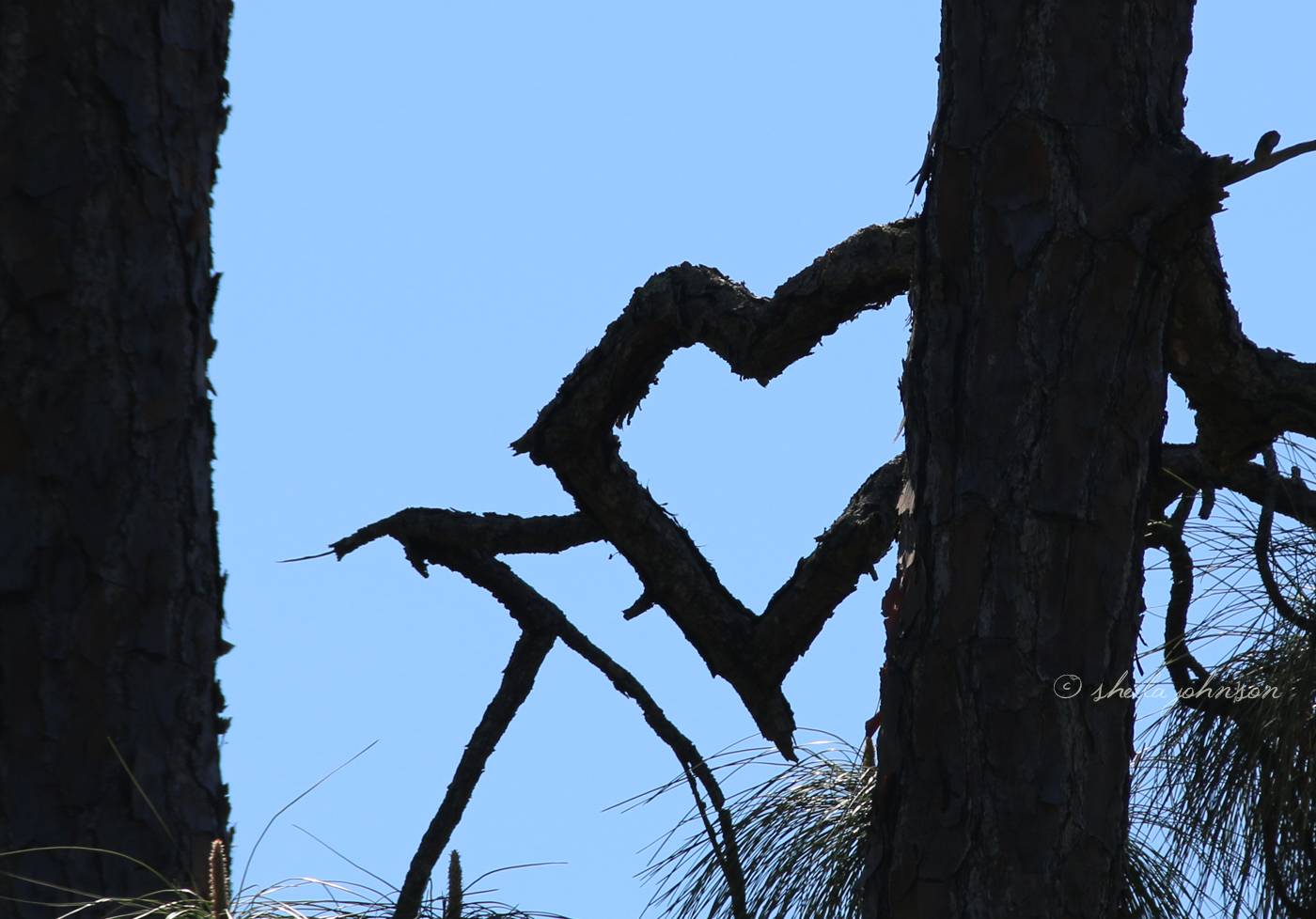 How does this happen? So many elements in nature can change the appearance of a tree, but, seriously, how does a tree branch or combination of tree branches twist themselves into the shape of a heart?