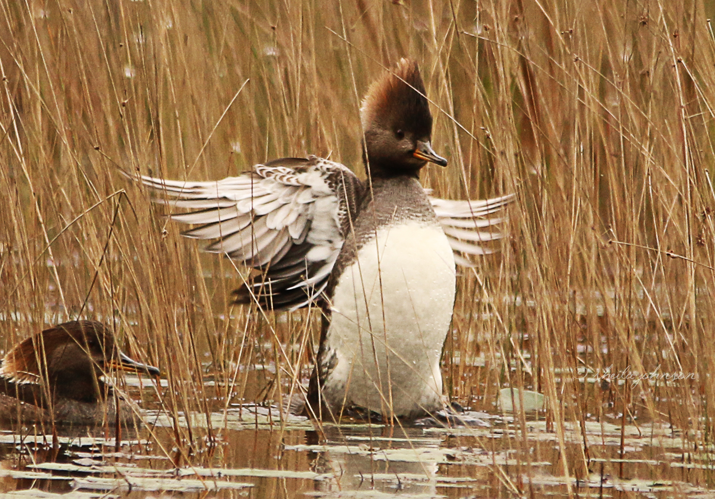 This Merganser Duck Obviously Knows Just How Pretty He Is, Showing Off For The Camera Like That!