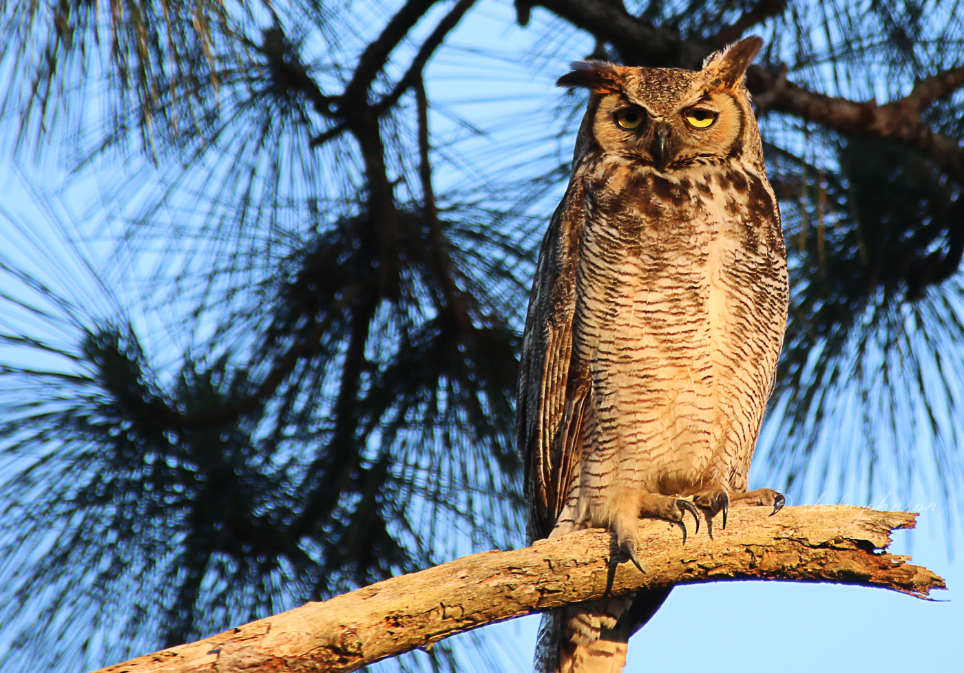 When I Think Of Owls, I Think Of Soft And Cuddly. This Horned Owl Dispels That Myth Easily With Those Gigantic (And Very Sharp) Claws.