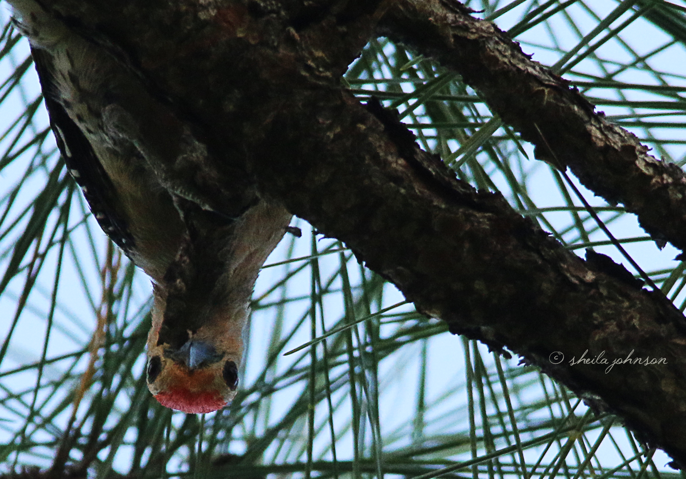 Mr. Red-Bellied Woodpecker Looks Down From His Work To Spy Me Looking Up At His Work.