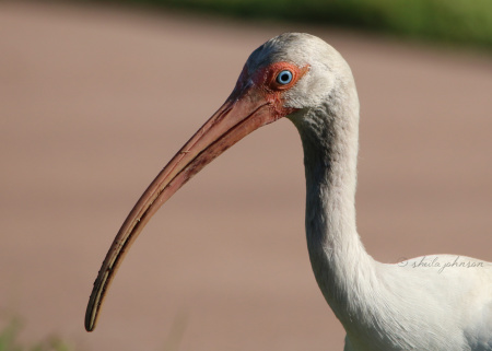You may recognize the Ibis as the mascot of Miami University. This one resides a little farther north in Martin County, Florida, and it doesn't appear to enjoy much fighting, unless we count the struggle which ensues when it finds a juicy bug.