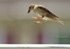 We'd Like To Say This Carolina Wren Is Jumping For Joy, But There's A Pretty Decent Chance He Just Got Startled. Whatever The Reason, He's Darned Cute Doing It.