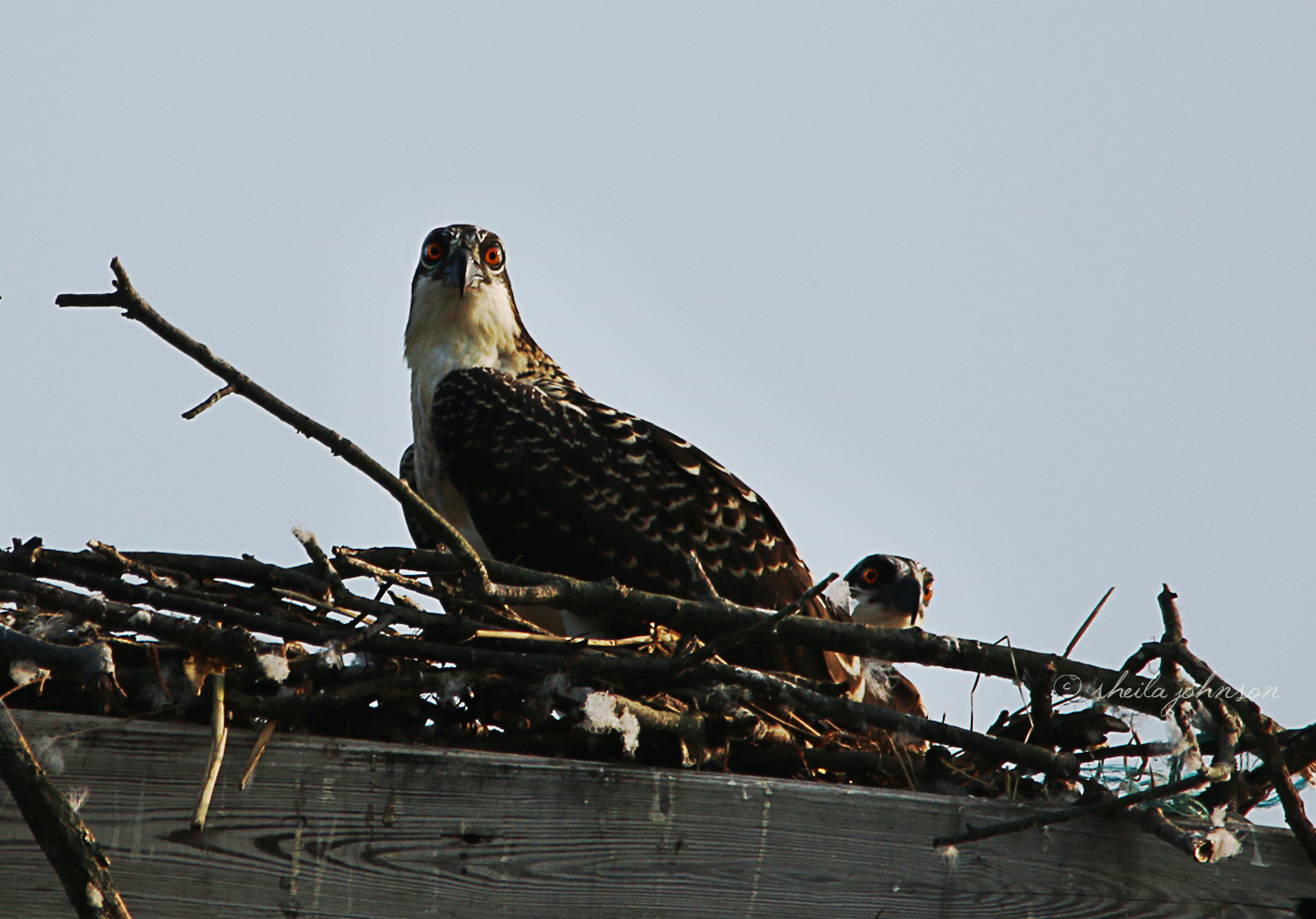 That Look, Though! These Osprey Siblings Don't Like It When Intruders Get Too Close To The Nest, Especially When Ma And Pa Are Away Hunting For Dinner.