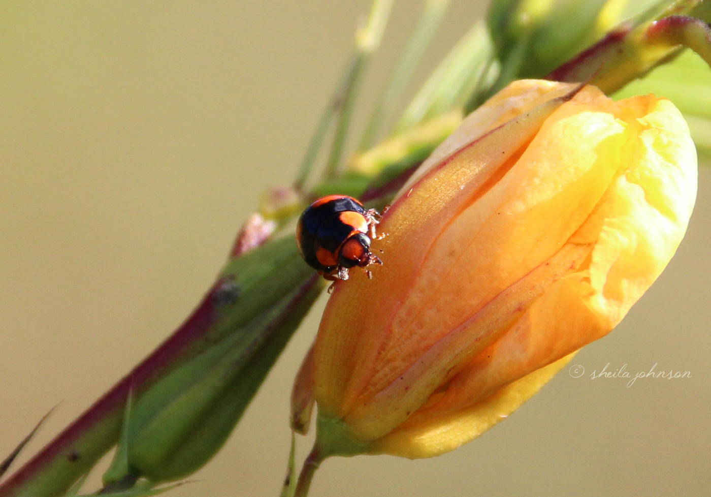 A Ladybug Sunbathes On A Wildflower On A Sunny Florida Winter Afternoon. The Ladybug On Any Plant Is An Indication Aphids May Be Present.