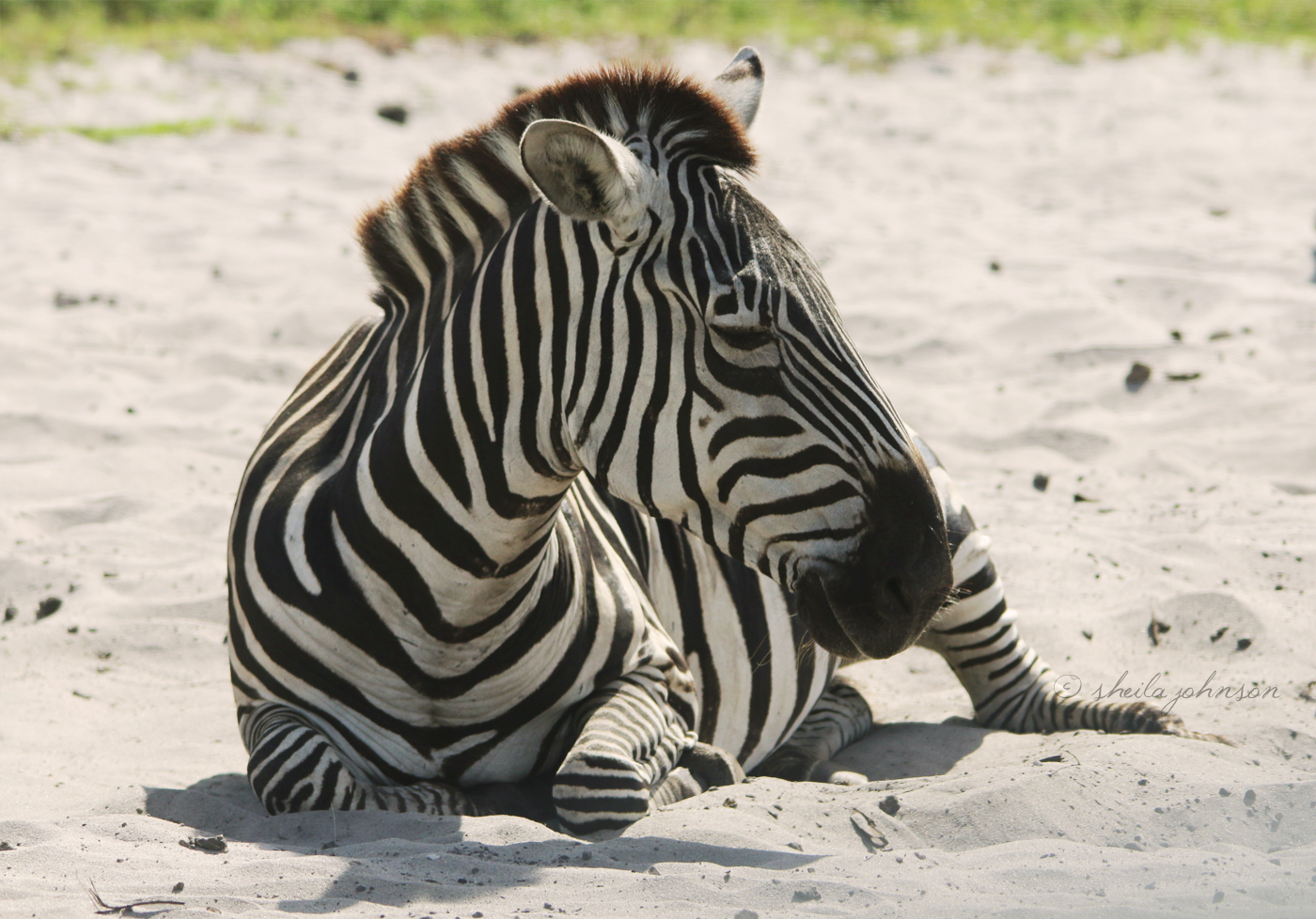 This Common Or Plains Zebra Seems Content To Soak Up The Sun And Enjoy The Lazy Days Of Summer At Lion Country Safari. Some Experts Believe That Zebra Stripes Help Keep Them Safe, As Predators Are Unable To Tell If There Are 5 Or 50 Zebra In A Group.