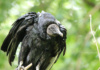 We're Not Sure What's Happening Here. Or, Rather, Why It's Happening. There Is A Decided Lean In This Black Vulture, Though He Seems None Worse For The Wear.