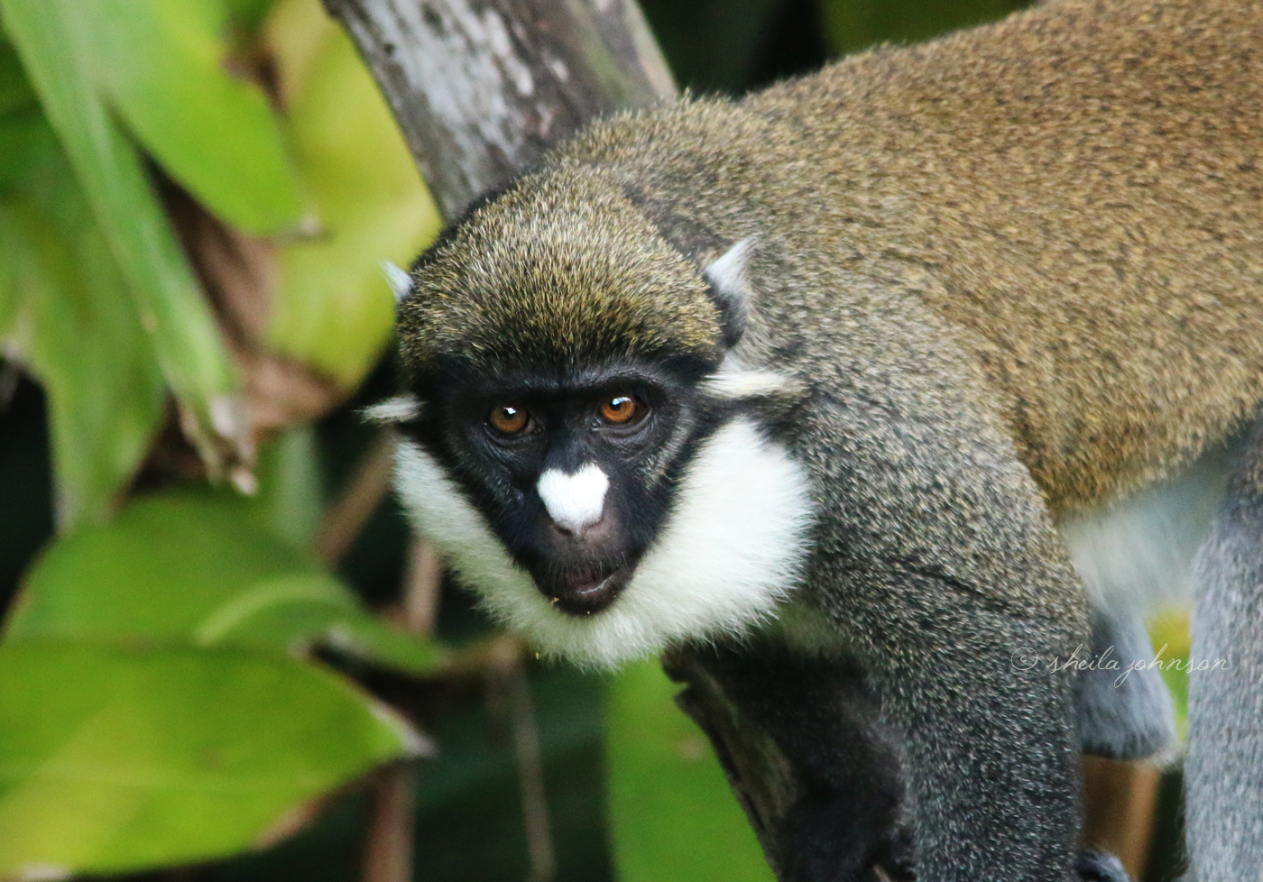 This Is A Lesser Spot-Nosed Guenon Aka Lesser Spot-Nosed Monkey. According To The Zoo Miami Website, These Monkeys Communicate In Many Ways, Including Head Movements. When In Dense Brush, They Depend On That Cute White Nose To See Those Movements More Clearly.