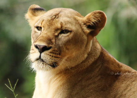 This is one of the lionesses of Zoo Miami. I've always known that lions live in prides, and during my visit to Zoo Miami, I learned that lions are the only cats to live in groups.