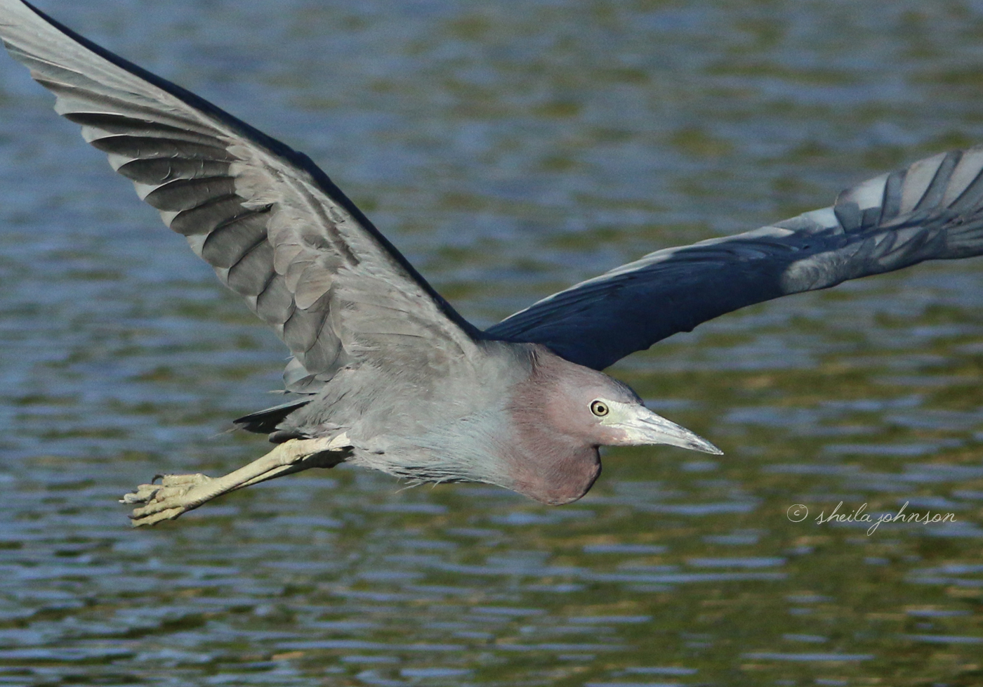 The Banks Of The St. Lucie River Are A Popular Feeding Habitat For Many Bird Species, Including This Little Blue Heron, Who's A Regular At Kiplinger Preserve, Stuart, Florida.