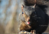 Finding A Pile Of Nuts And Seeds Left By Someone Visiting The Park, This Black Squirrel Gets A Little Sassy And Sticks His Tongue Out At The Camera.