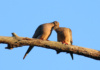 Mourning Doves Showing Each Other Some Lovin'! Mourning Doves, Like Many Wild Birds, Mate For Life. It's Obvious These Two Adore Each Other.