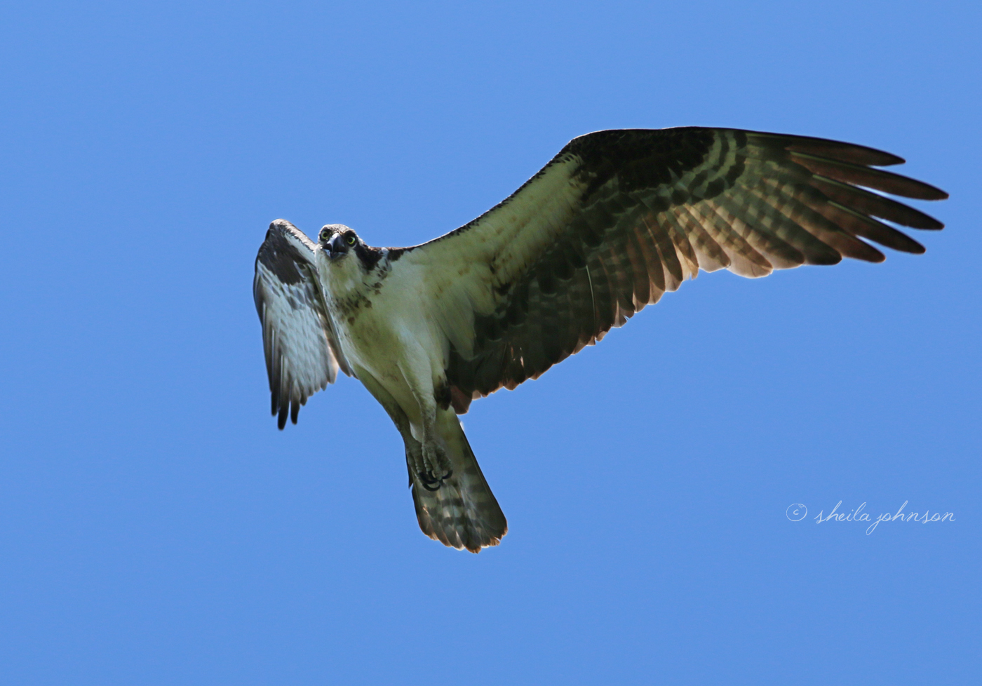 I Know She's Angry With Me For Being Near Her Osprey Offspring, But I Am Enamored Of Her And Happy To Click A Thousand Clicks, If She Will Just Keep Flying By.