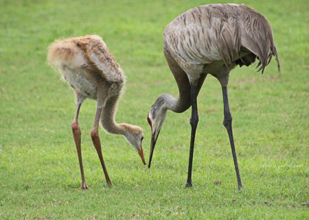 When there are no soccer or baseball games at Halpatioke Regional Park in Stuart, Florida, Sandhill Cranes are often found feasting on worms and such on the fields. Sandhill Cranes juveniles stay with their parents for as long a 12 months after hatching.