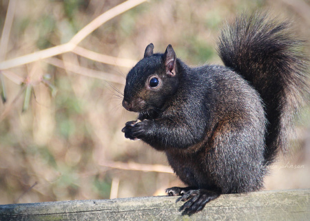 I love all the squirrels, but, gosh, these black squirrels are surely the prettiest.