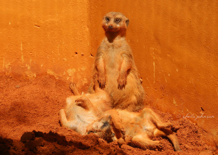 No, we didn't add an orange filter to this photo of the Slender-Tailed Meerkats at Zoo Miami. Apparently, they enjoy rolling around in this soil, which we guess has a high clay content, thus giving it an orange tinge.