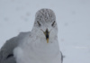 This Maryland Seagull Is Fierce! (Or So He Wants Us To Believe.)
