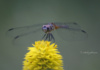 A Purple Roseate Skimmer Dragonfly Has His Own Little World, Just Like Horton.