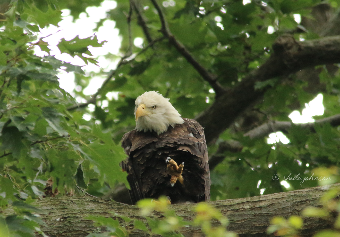 A Maryland Bald Eagle Bares His Large, Capable Claws At Conowingo Damn At The Susquehanna River.