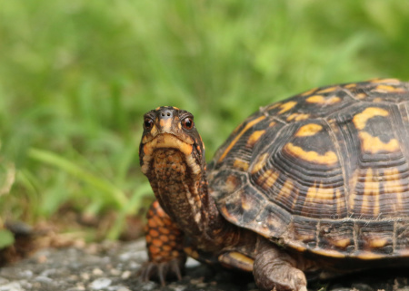 In 2011, the Eastern Box Turtle's conservation status was changed from Near Threatened to Vulnerable, As the name implies, they can be found all along the eastern coast of the United States. This one calls Mariner Point Park, Joppa, Maryland home.