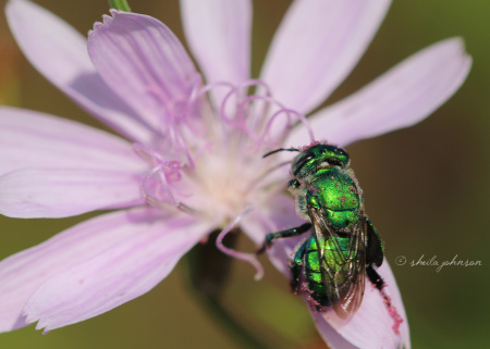This green bee photo bombed -- and made better -- this photo of a lavender wildflower.