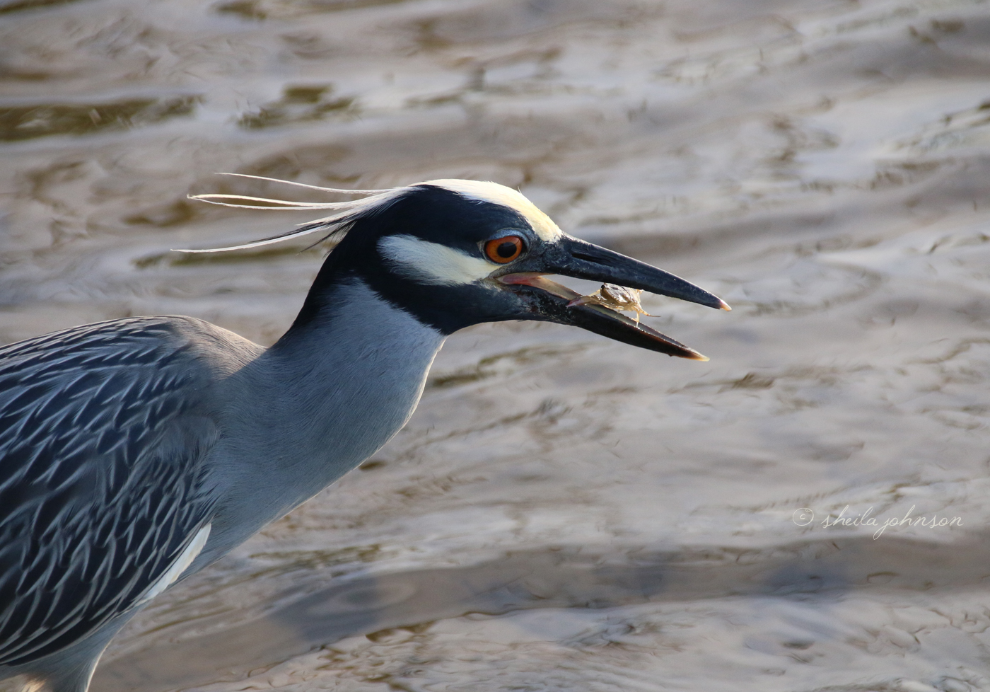 This Gorgeous Crested Night Heron Enjoys The Freshest Crab For Lunch!