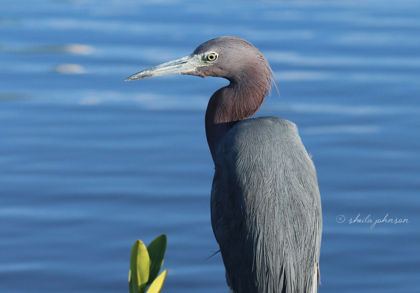 Why Would Such A Big Bird Be Called A 'little Blue Heron'? Because It's About Half The Size Of A Great Blue Heron! This One Sits Quietly Enjoying The Warm Evening Sun In Downtown Stuart, Florida.