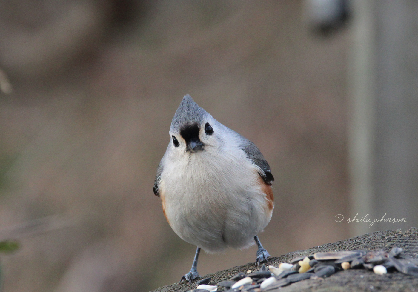 This Little Maryland Tufted Titmouse Watches And Waits.