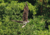 Following The One-Handed Fish Grab, This Osprey Surveys The Area, Presumably Looking For Would-Be Thieves.