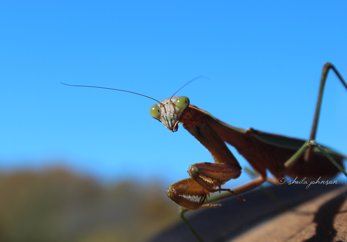 This Preying Mantis Looks Over His Shoulder, While Sitting On Someone Else's