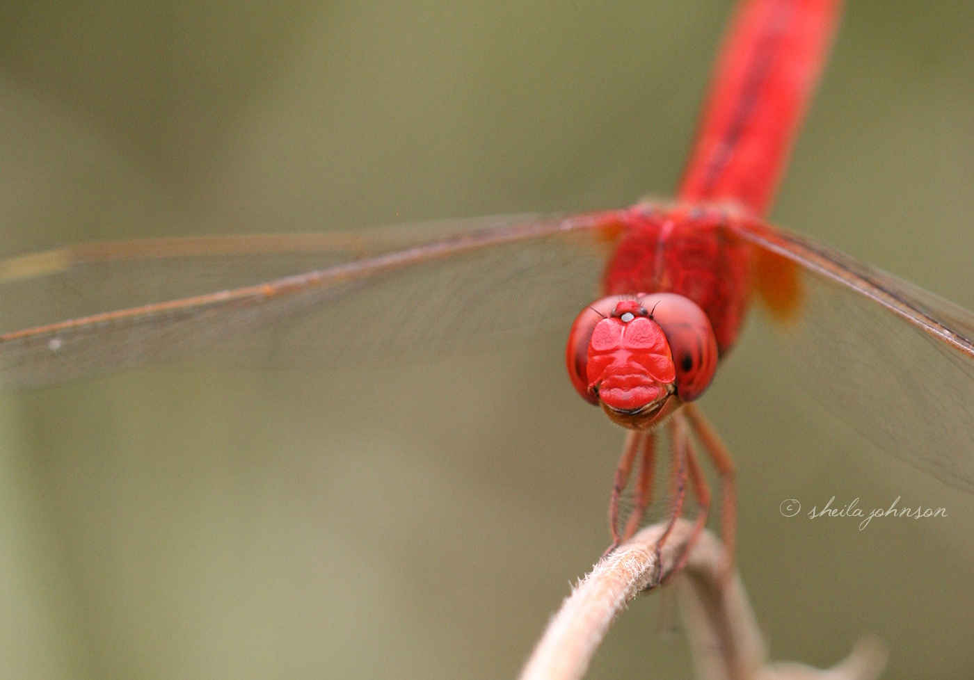 This Red Scarlet Skimmer, Also Known As A Crimson Darter, Dragonfly Appears To Know Just How Special He Is. This Image Is Available On Motivational Prints, Canvas, And Other Home Decor And Office Accent Products Here.