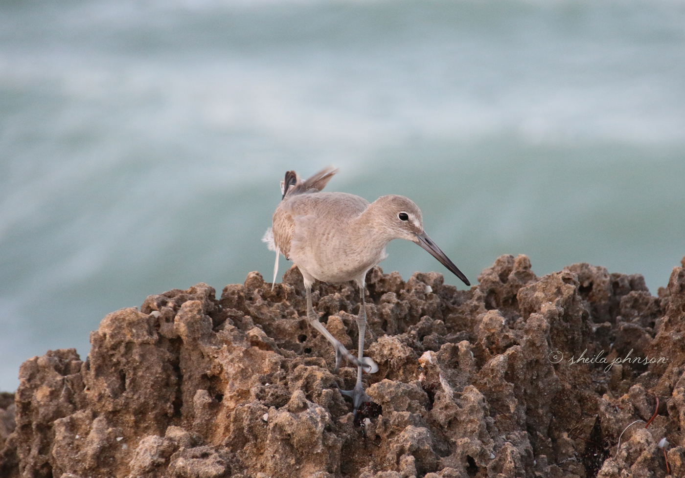 A Happy Willet Forages For Food By The Sea Shore At The House Of Refuge, Hutchinson Island, Florida.