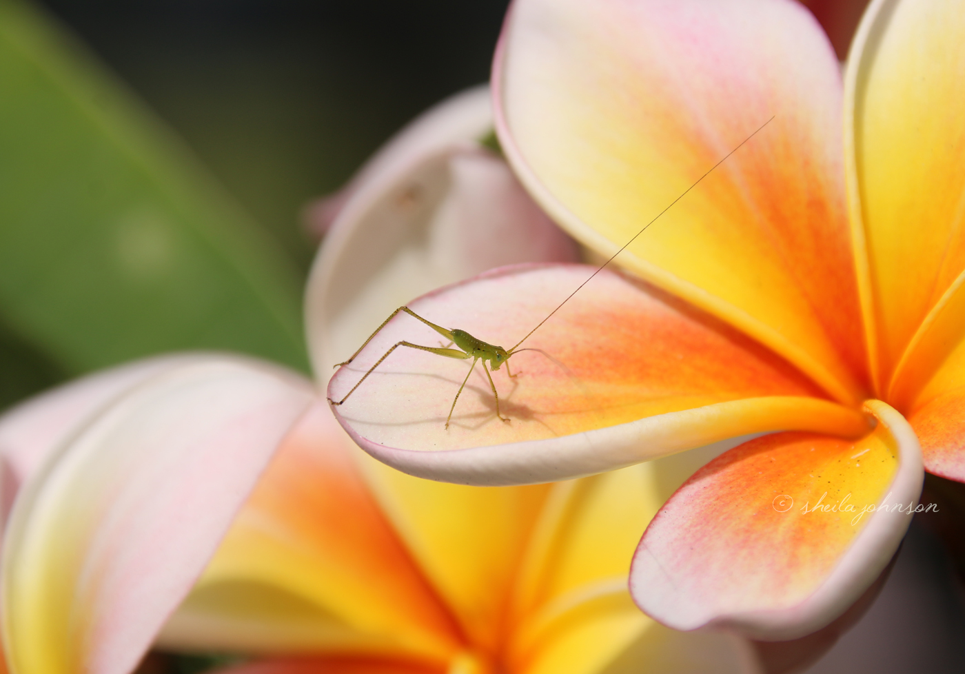 Adorning A Blooming Frangipani, This Certainly Must Be The Cutest Little Grasshopper Ever!