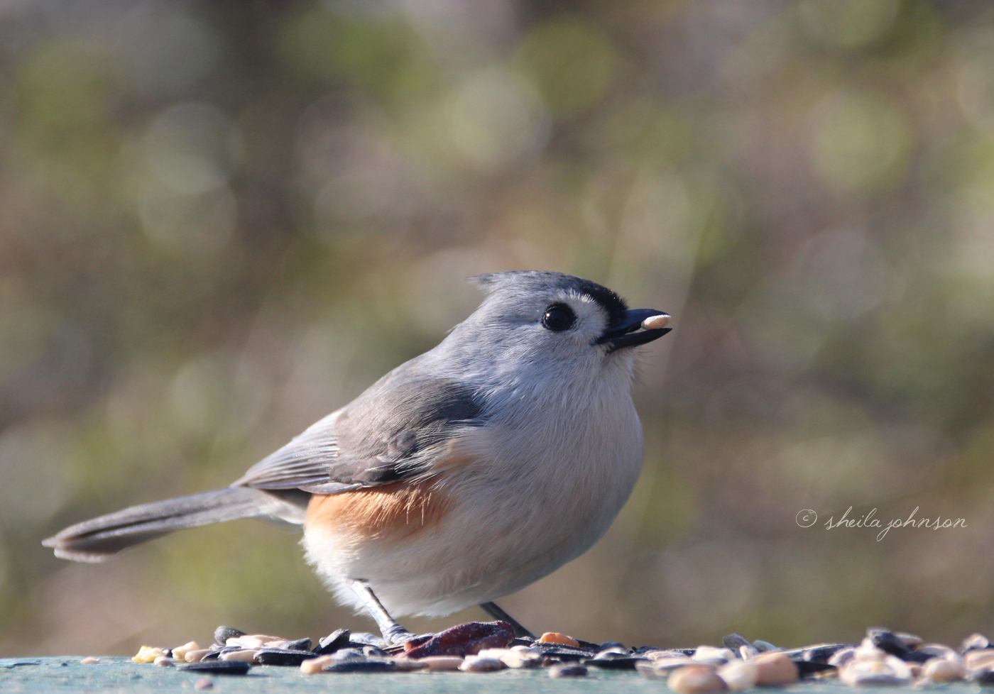 It's Treat Time For This Little Maryland Tufted Titmouse. Though Common In The Northeast, We See Them Only In Winter In South Florida.