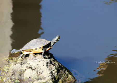 A little Pond Slider turtle appears to be doing yoga on a rock near the retention pond at Kiplinger Preserve, Stuart, Florida.