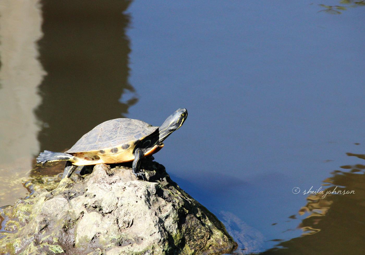 A Little Pond Slider Turtle Appears To Be Doing Yoga On A Rock Near The Retention Pond At Kiplinger Preserve, Stuart, Florida.
