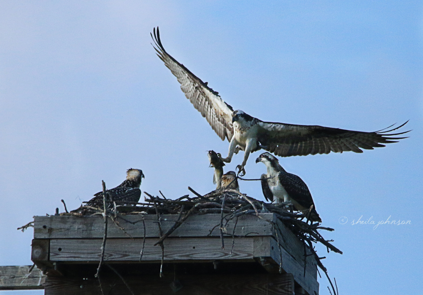 Day In And Day Out, Mama Osprey Protects Her Nest, And She Brings Home The Bacon, Too. Catfish Is The New Bacon, Don't Ya Know?
