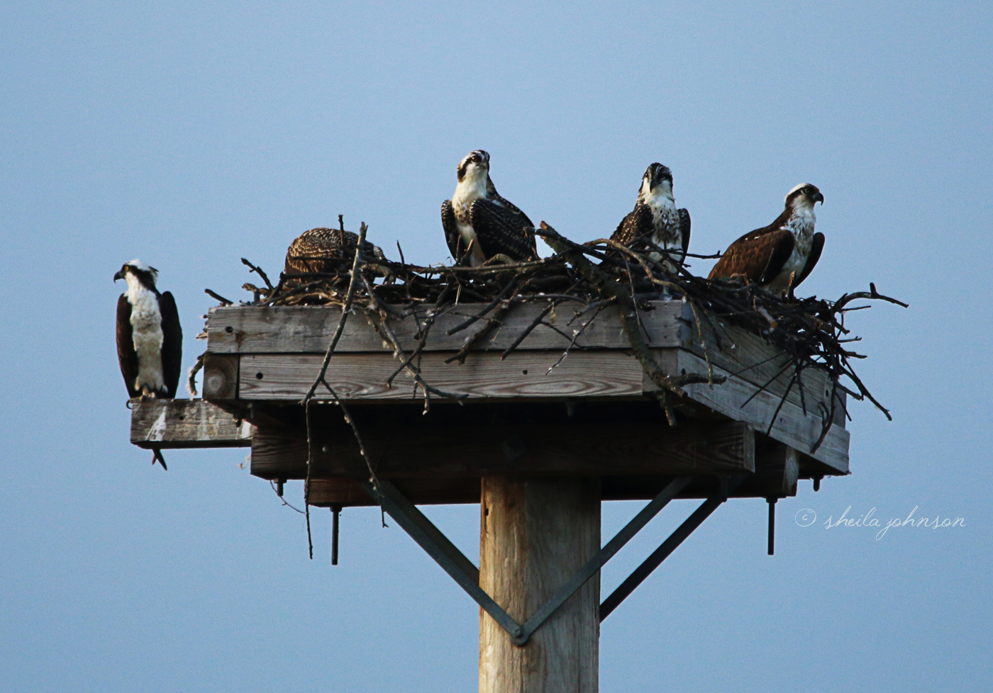 And On This Day, The Entire Family Greets Us At The 'life In The Big Nest' Osprey Nest. I Have A Hard Time Picking Mom Out From The Juveniles, (Unless She's Yelling At Me), But I Think She's The One In The Middle, With Fewer Speckles On Her Chest.