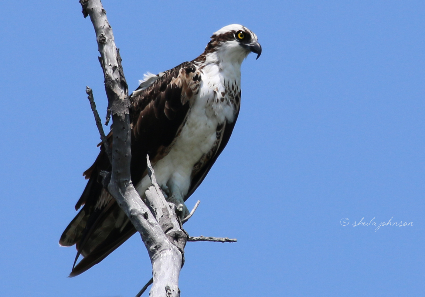 This Osprey Diligently Keeps An Eye Out For Fresh Fish Infringing Upon His Territory At The St. Lucie River. Jail Time Isn't Enough For Them; They'll Be Eaten For Lunch.