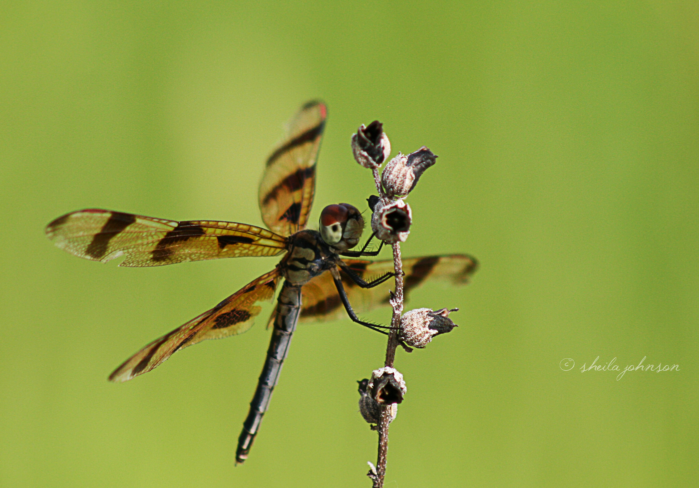 Ahhh, The Halloween Pennant Dragonfly! They Are One Of The Few Dragonflies That Seem To Enjoy Being Photographed. It Looks A Lot Like The Painted Skimmer -- Those Tiny Little Red Spots On Its Wings (Which The Painted Skimmer Doesn't Have) Give It Away.