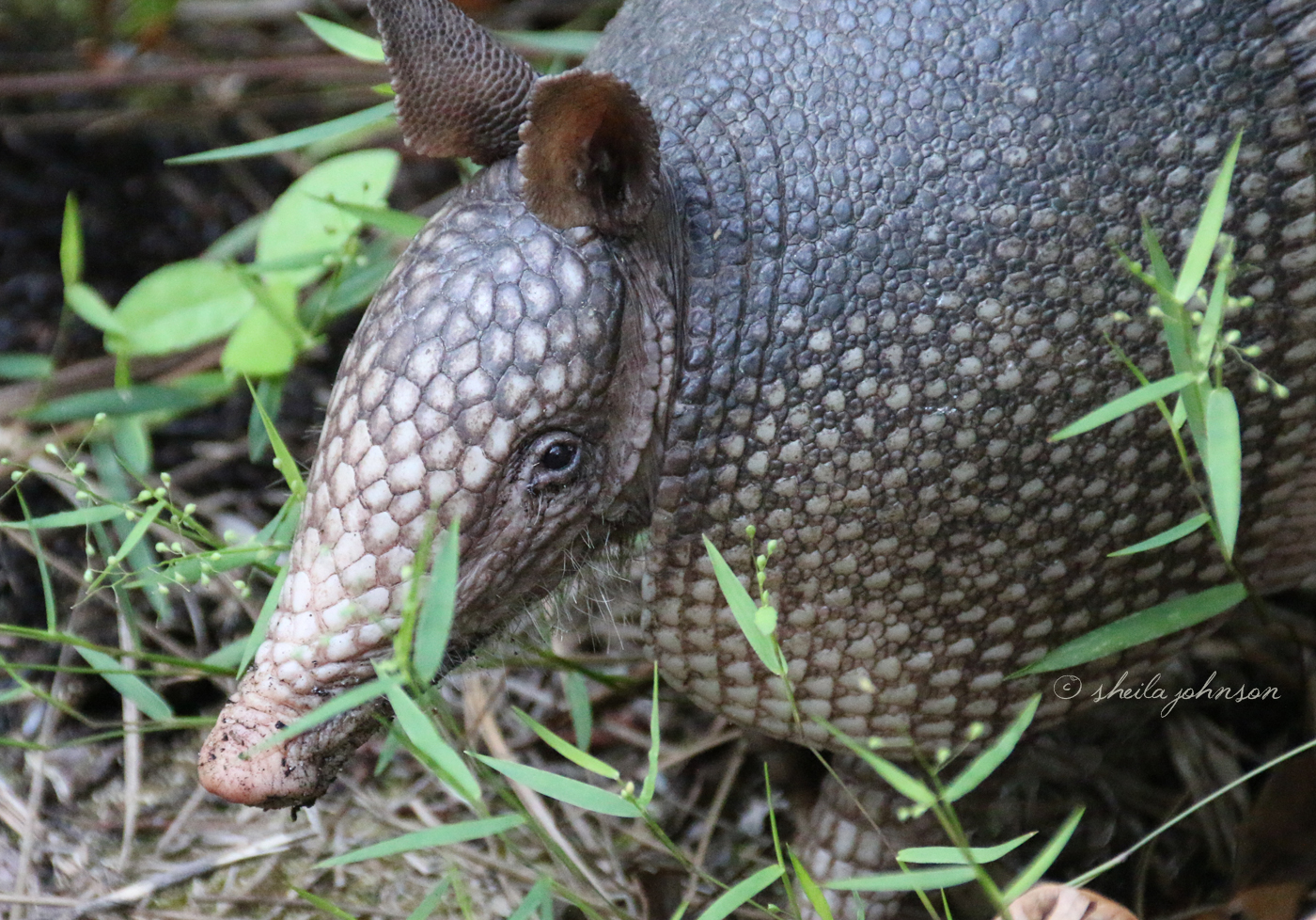 With horrible eyesight, Armadillos must always wonder, 'Is anybody there?' This one sniffed the air several times before deciding I was foe and not friend.