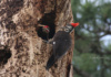 A Female Pileated Woodpecker Gets Out Of Her Mate's Way, As He Throws Wood Chunks Out Of The Nest He's Building.