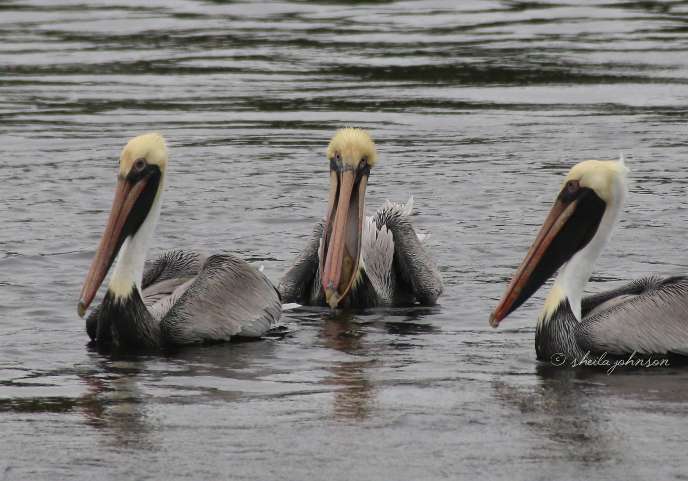 A Gathering Of Florida Pelicans Sharing Camaraderie, But Never Their Fresh Catches. The Guy In The Middle Looks Like He Stepped Out Of As 80S Salon.