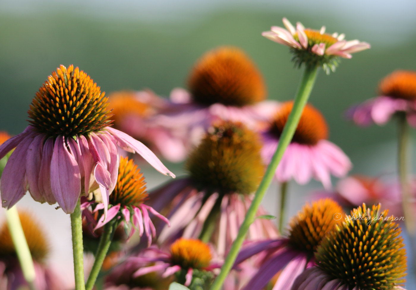 You May Have Heard Of The Purple Coneflower At Your Local Drugstore, As It Goes By The Scientific Name Of Echinacea. It's Sold Medicinally As Having Antidepressant And Immune-System Boosting Properties.