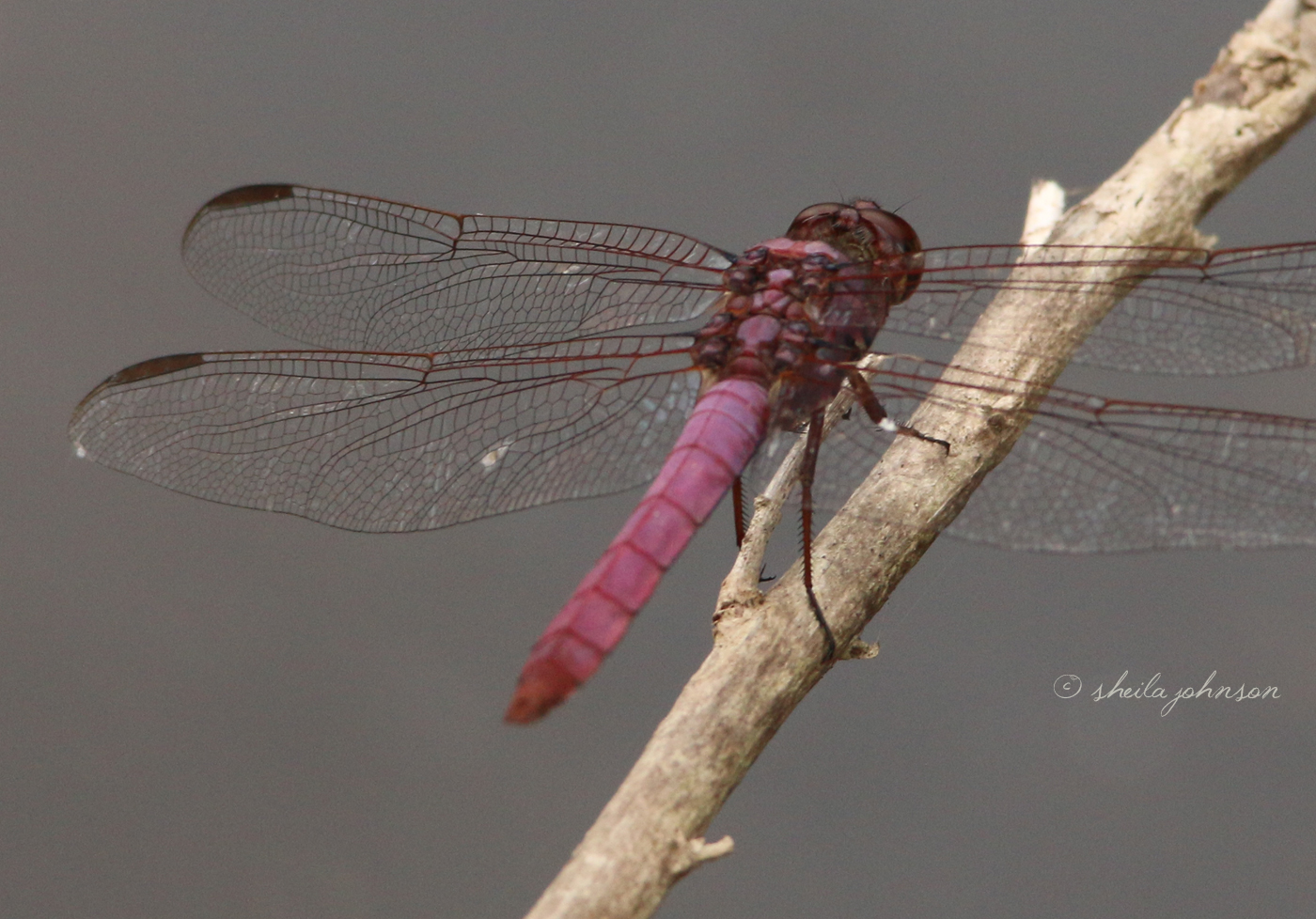 The Roseate Skimmer Dragonfly Is One Of The Prettiest We've Seen In The Wild. One Would Think 'roseate,' As In Spoonbill, Would Mean Pink. These Are Pretty Shades Of Purple, However.