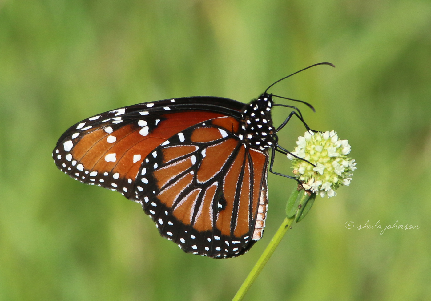 The Monarch, Viceroy, And Queen Butterflies Are Very Similar, And It's Only When They're Sitting Still Can Most People Identify Them. This One Is A Queen Butterfly.